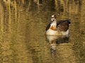 Egyptian goose incoming with a nice reflection in Stock Image