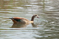 Egyptian goose on the lake in south africa Stock Image