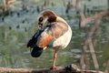 Egyptian goose on one foot grooming itself gauteng province south africa Stock Photo