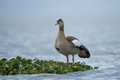 Egyptian goose perched on floating green plant Royalty Free Stock Photo