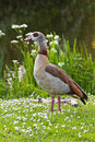 Egyptian goose standing near pond with flowers Royalty Free Stock Photo