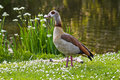 Egyptian goose standing near pond with flowers Stock Images
