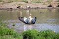 Egyptian goose standing in water flapping wings to dry its Stock Photo