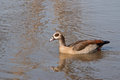 Egyptian goose swimming kruger national park south africa Royalty Free Stock Images