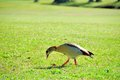 Egyptian goose walking on golf course the ground of a south florida Royalty Free Stock Photo