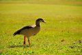 Egyptian goose walking on the ground of a south florida golf course Royalty Free Stock Photo