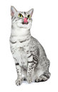 Egyptian Mau Cat Licking Lips Royalty Free Stock Photo