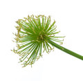 Egyptian papyrus sedge plant on a white background Stock Photography