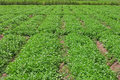 Egyptian plantation of coriander Stock Image