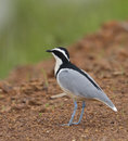 Egyptian Plover Royalty Free Stock Photo