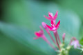Egyptian star cluster flower extreme close up flowers pentas lanceolata Royalty Free Stock Photos