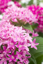 Egyptian star flower pink in vertical position Stock Photo