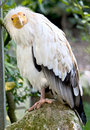 Egyptian vulture 1 Royalty Free Stock Photography