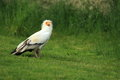 Egyptian vulture on the grass Stock Photo