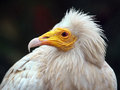 Egyptian vulture an looking ahead Stock Photos