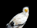 Egyptian Vulture - Neophron percnopterus Royalty Free Stock Photo