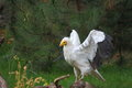 Egyptian vulture neophron percnopterus beginning fly Royalty Free Stock Photos