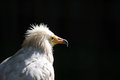 Egyptian vulture neophron percnopterus detail Royalty Free Stock Images