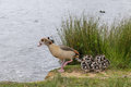 Egyption goose with babies ready to jump in water lake in richmond park Stock Image