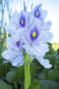 Eichhornia crassipes or water hyacinth flower Royalty Free Stock Photo
