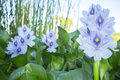 Eichhornia crassipes or water hyacinth flowers Royalty Free Stock Photo
