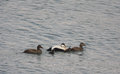 Eider duck family somateria mollissima or two male drakes and three females with ducklings swimming at sea Royalty Free Stock Photo