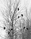 Eight bald eagles Royalty Free Stock Photo