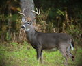 Eight Point In Meadow Stock Photography