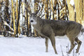 Eight point white tail buck male deer standing in snowy forest Royalty Free Stock Images