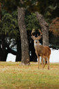 Eight Point Whitetailed Deer Buck Posing Royalty Free Stock Images