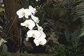 Eight white orchids set against a dark green background of tropical vegetation photo taken on march Stock Images