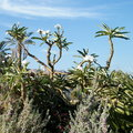 Ein Gedi Pachypodium rutenbergianum 2010 Royalty Free Stock Photo