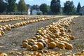 A pumpkin field in autumn Royalty Free Stock Photo