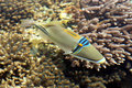 Ein korallenroter Fisch im Roten Meer Stockfotografie