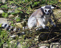 Ein Ring angebundener Lemur (Lemur Catta) Stockfotos