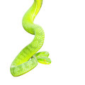 Ekiiwhagahmg snakes snakes green on white background Royalty Free Stock Images