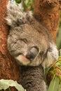 El dormir del Koala Fotos de archivo libres de regalías