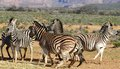 El jugar de las cebras de suráfrica Fotografía de archivo