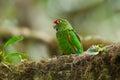 El Oro Parakeet Royalty Free Stock Photo