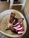 El perrito está esperando papá noel Fotografía de archivo libre de regalías