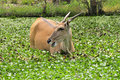 Elan antelope enjoying water plants Stock Photos