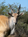 Eland 2 Royalty Free Stock Photo