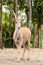Eland Stock Photography