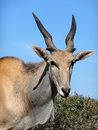 Eland 4 Stock Photography