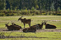Eland antelope or Common Eland Royalty Free Stock Photo