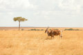 Eland antelope, Masai Mara Royalty Free Stock Photo