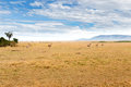 Eland antelopes grazing in savannah at africa Royalty Free Stock Photo