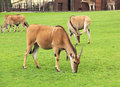 Eland antelopes Royalty Free Stock Photo