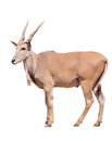 Eland isolated on white background Royalty Free Stock Image