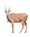Eland isolated on white background Royalty Free Stock Photography
